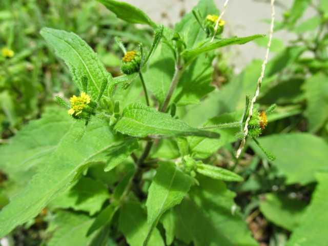 Hy thiêm – một thảo dược quý giúp giảm cơn đau do viêm khớp dạng thấp